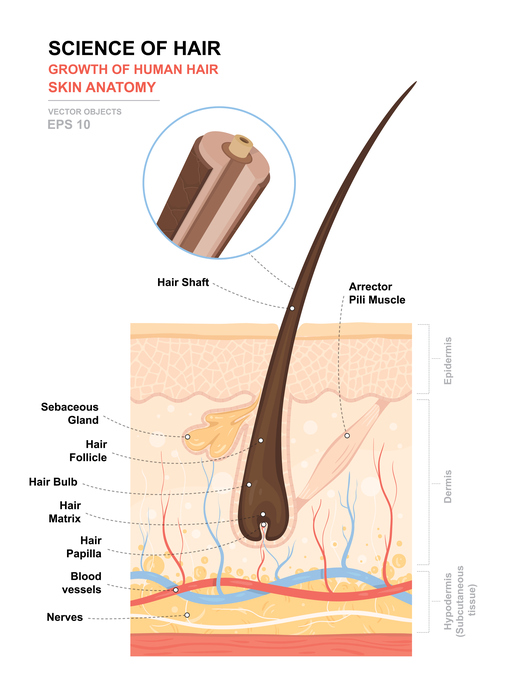 anatomy of hair cross section illustration hair strand skin follicle understanding the anatomy of hair toppik hair blog