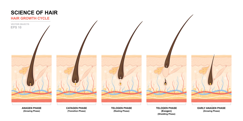 Hair Growth Cycle Chart with Hair Growth Phases Labeled