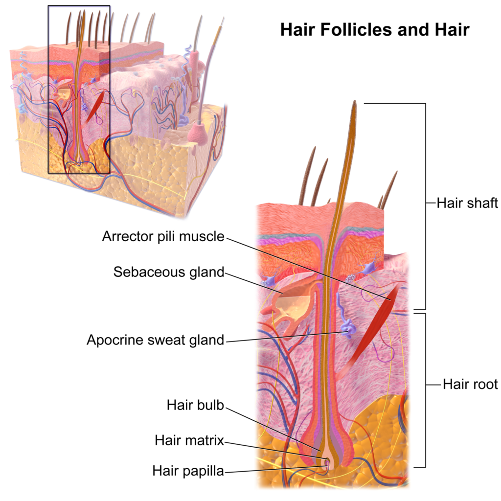 Hair follicle anatomy skin diagram labels wikipedia medical journal maintaining healthy hair follicles toppik hair blog
